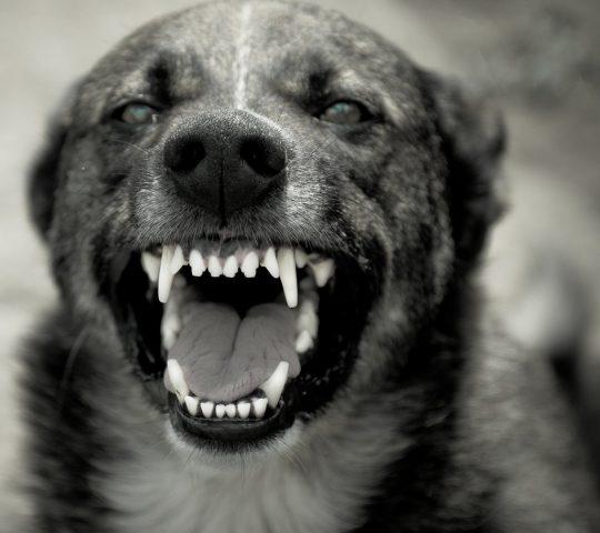 BW-aggressive-dog