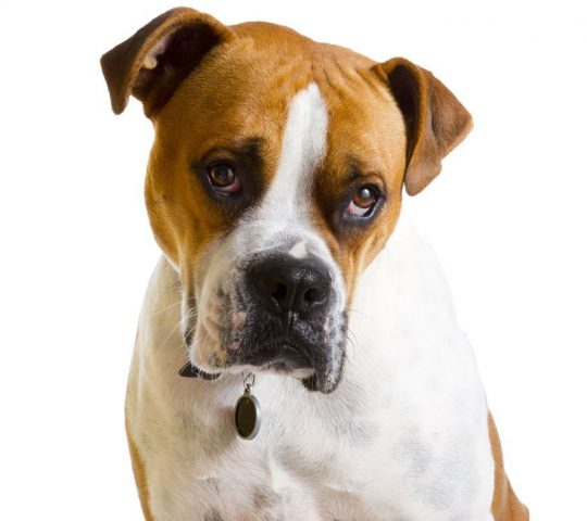 gorgeous-boxer